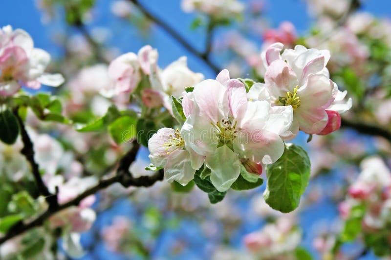 Flor 008 da árvore de Apple fotos de stock royalty free