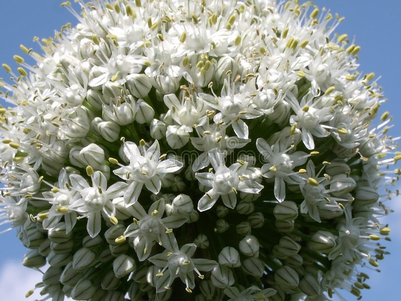 Flor 2 Da Cebola Imagens de Stock Royalty Free