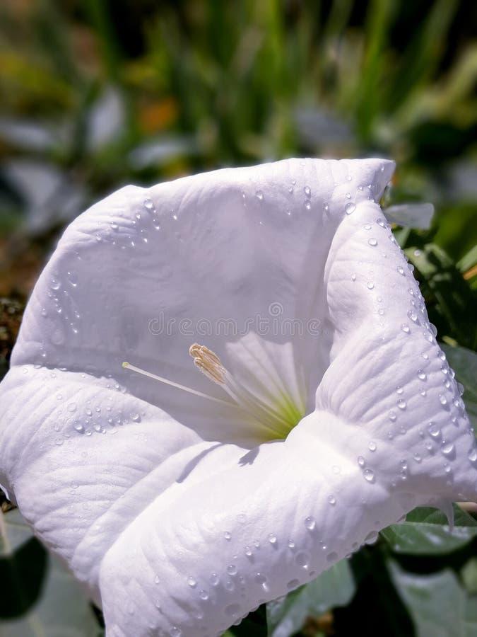 Flor abierta del blanco de Stramonium imagen de archivo