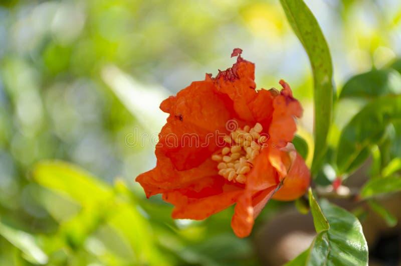 Flor abierto de la granada imagen de archivo libre de regalías