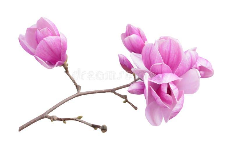Flor abloom cor-de-rosa da magnólia fotografia de stock