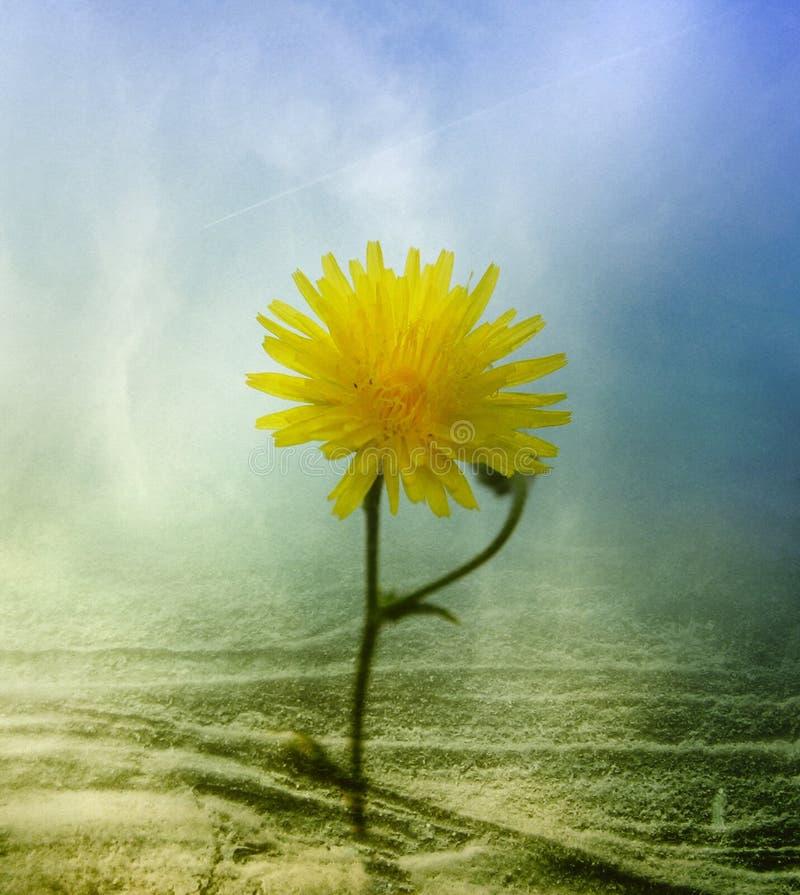 Flor abstracta del diente de león imagen de archivo
