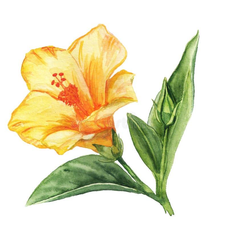 Flor acuarela de hibisco amarillo foto de archivo