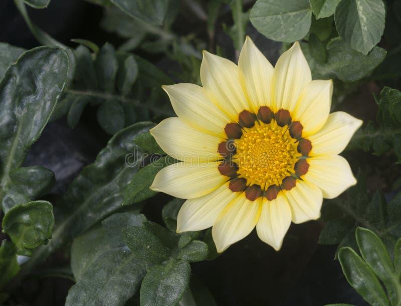 Flor africana do Gazania foto de stock