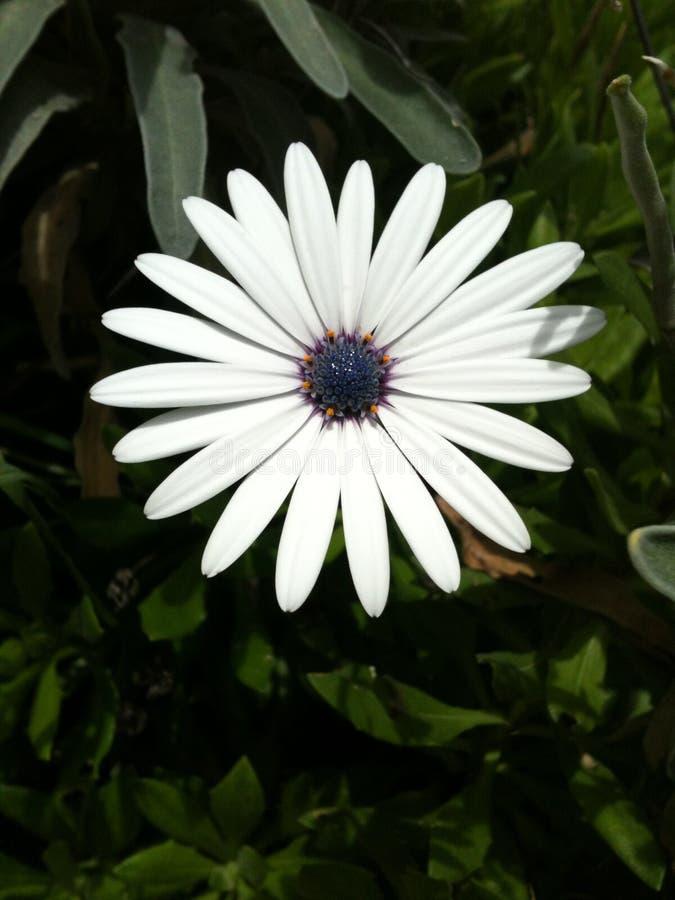 Flor africana magnífica de la luna foto de archivo libre de regalías