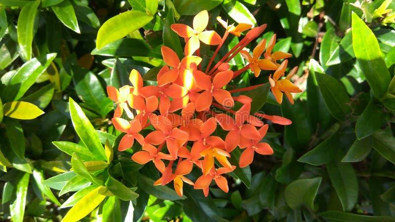 Flor aglomerada - Ixora alaranjado fotografia de stock