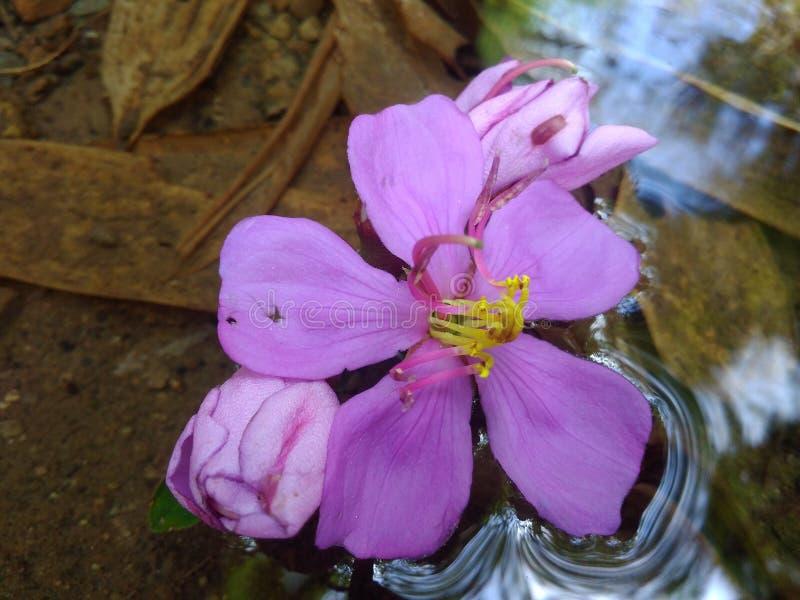 Flor agradable en el agua fotografía de archivo libre de regalías