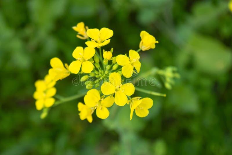 Flor agrupada da planta isolada em campos verdes da colheita do trigo imagens de stock