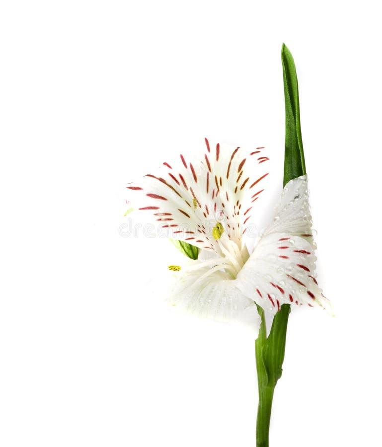 Flor aislada Alstroemeria fotografía de archivo