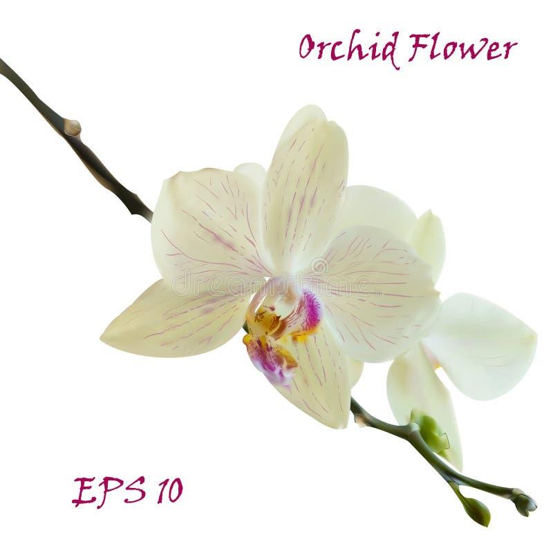 Flor aislada blanco de la orquídea fotografía de archivo