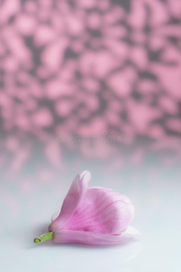 Flor aislada de la magnolia del primero plano en un tablero blanco foto de archivo