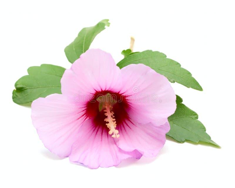 Flor aislada en blanco imágenes de archivo libres de regalías