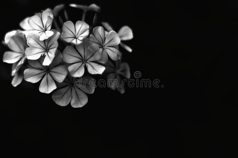 Flor aislada en negro fotografía de archivo libre de regalías