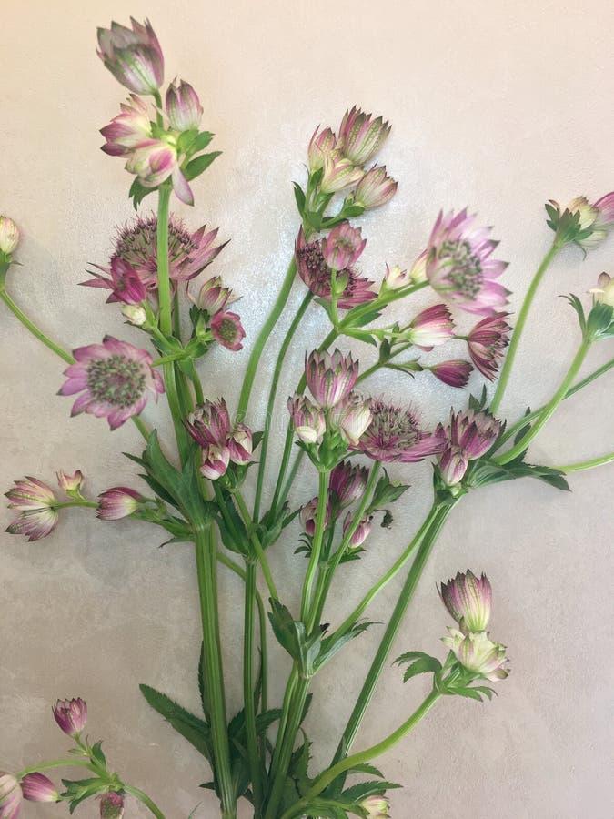 Flor aislado del astrantia en fondo del papel del vintage Tiro macro de dos flores delicadas del astrantia en papel Comandante de imagen de archivo libre de regalías