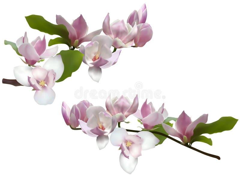 Flor aislado ramas de la flor de la primavera de la magnolia stock de ilustración