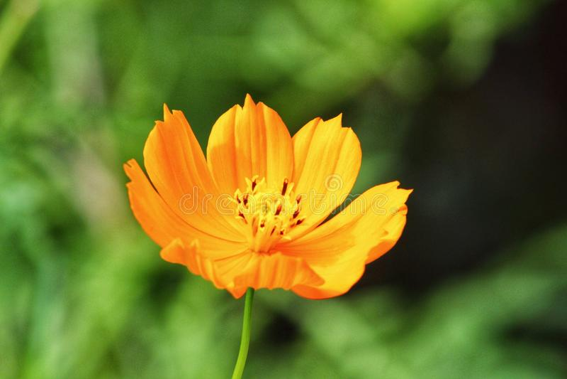 Flor alaranjada imagens de stock royalty free