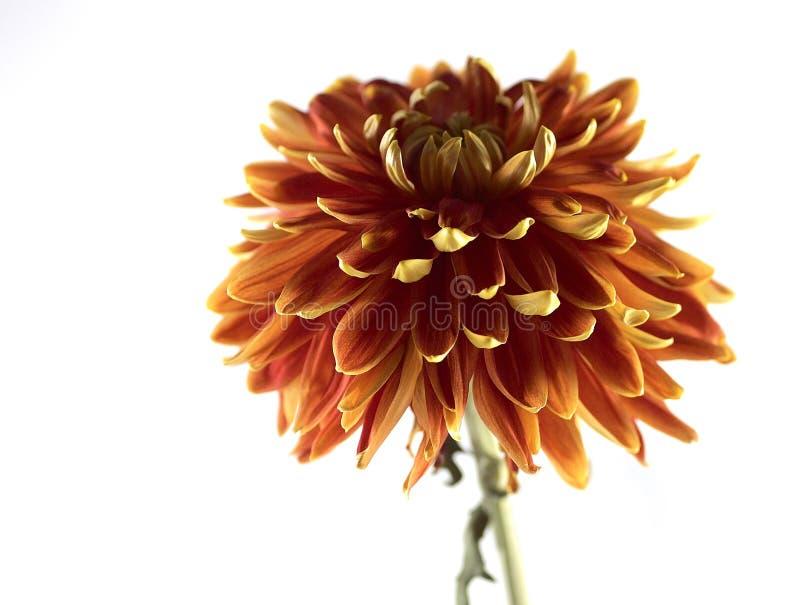 Flor alaranjada imagens de stock
