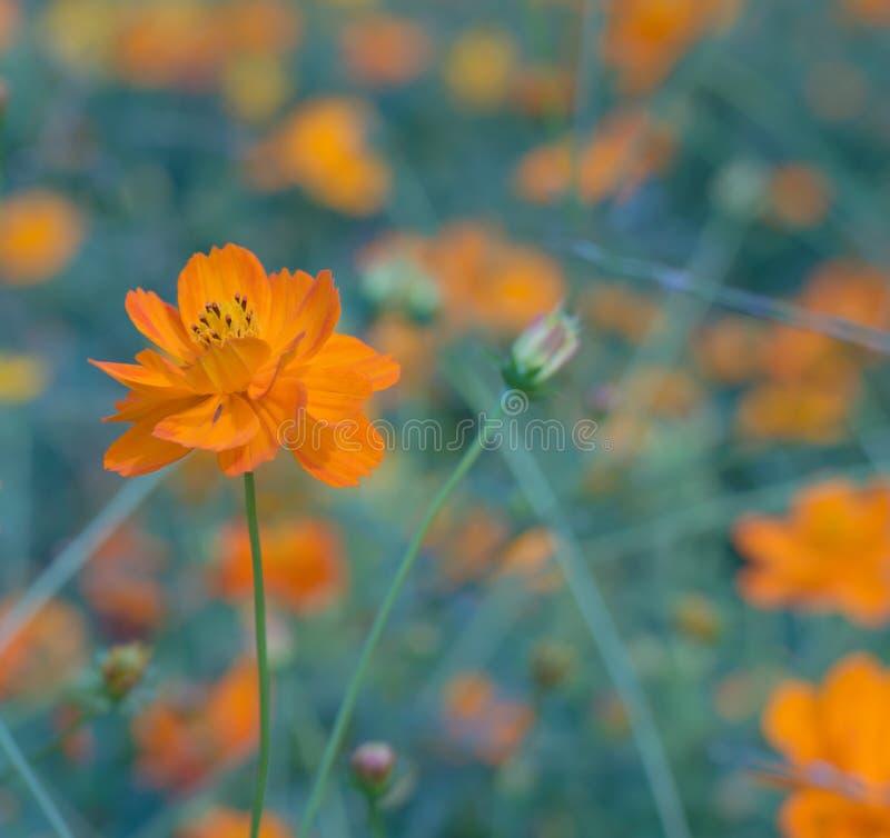 Flor alaranjada fotos de stock royalty free