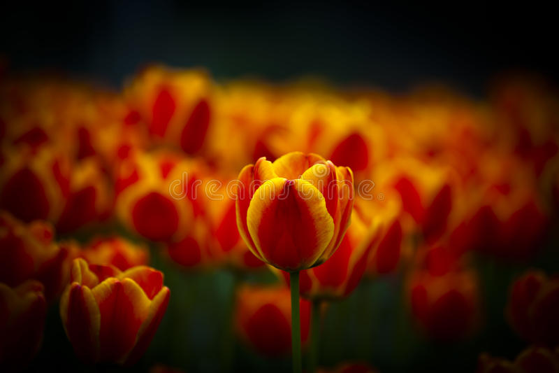 Flor alaranjada bonita da tulipa imagens de stock