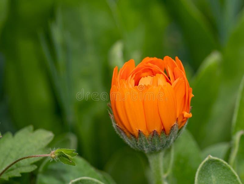 Flor alaranjada brilhante do cravo-de-defunto do calendula que floresce na primavera s fotos de stock