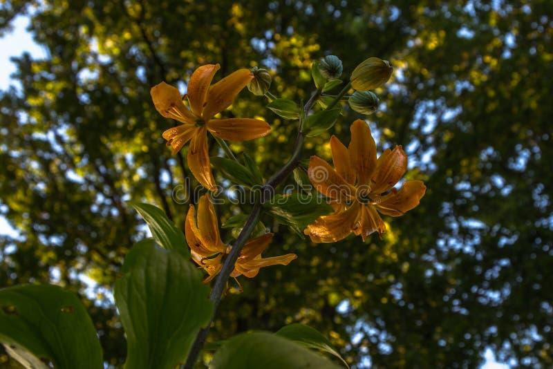 Flor alaranjada da azálea da chama na flor completa fotos de stock royalty free