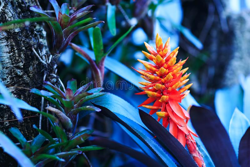 Flor alaranjada da beleza das florestas molhadas tropicais fotografia de stock
