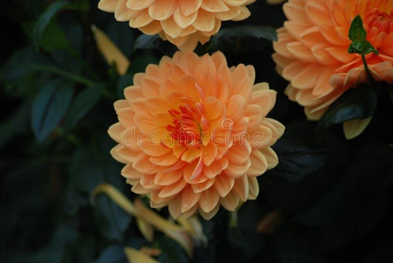 Flor alaranjada da dália - símbolo da elegância, da força interna, da mudança da faculdade criadora e da dignidade imagens de stock