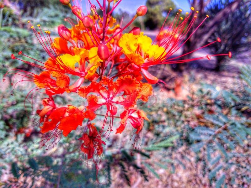 Flor alaranjada da flor imagens de stock royalty free