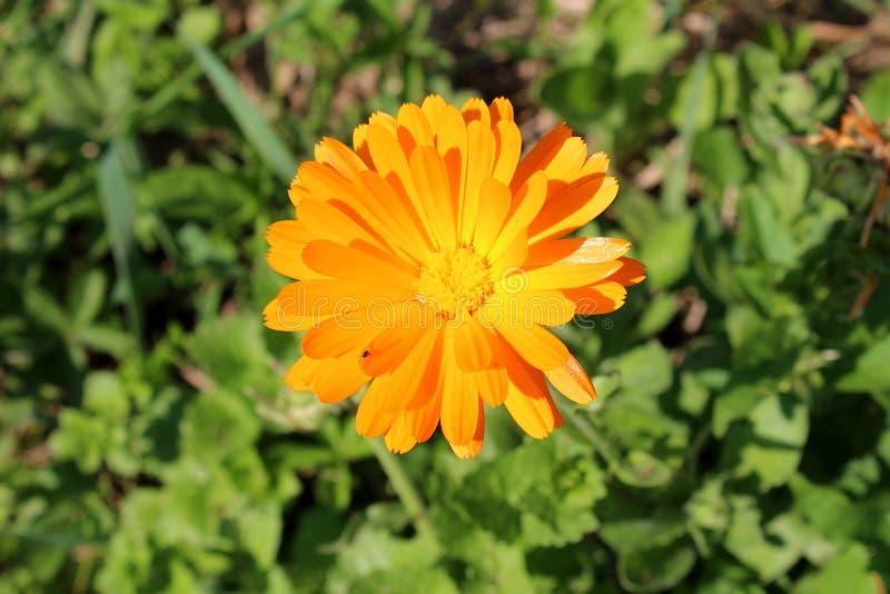 Flor alaranjada de florescência cravo-de-defunto ou dos officinalis ingleses do Calendula com mosca pequena foto de stock