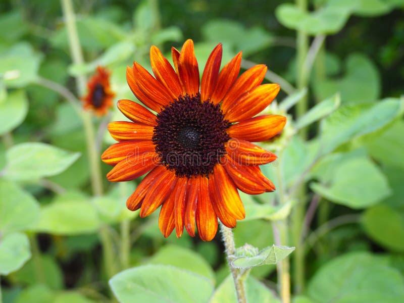 Flor alaranjada de Sun imagem de stock