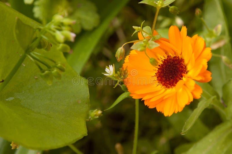 Flor alaranjada do calendula fotografia de stock