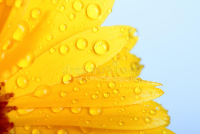 Flor alaranjada do calendula com orvalho imagem de stock royalty free