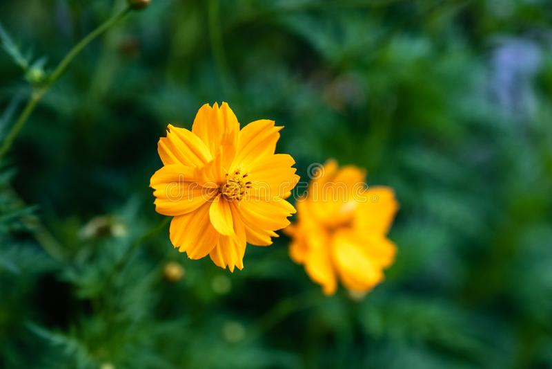Flor alaranjada do cosmos da flor no arbusto fotografia de stock