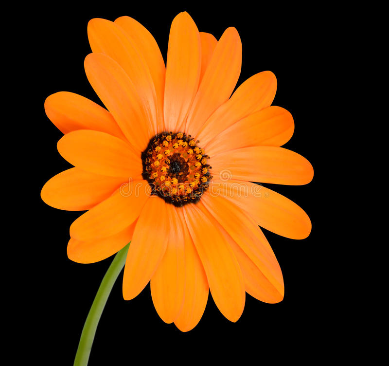 Flor alaranjada do cravo-de-defunto de potenciômetro na flor completa isolada fotografia de stock royalty free