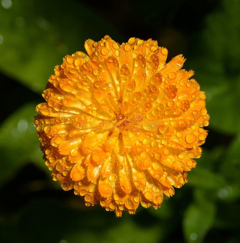 Flor alaranjada do cravo-de-defunto inglês foto de stock royalty free