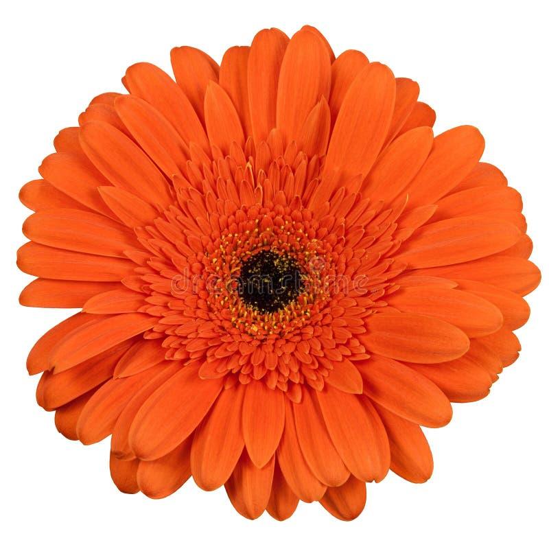 Flor alaranjada do gerber isolada no branco imagem de stock