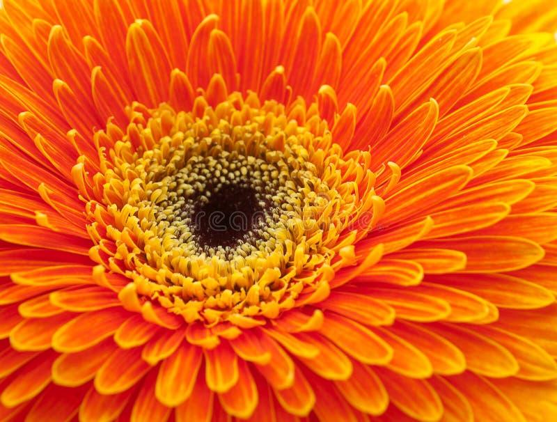 Flor alaranjada do gerbera fotos de stock royalty free