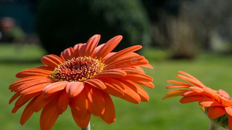 Flor alaranjada do gerbera com folhas verdes imagens de stock