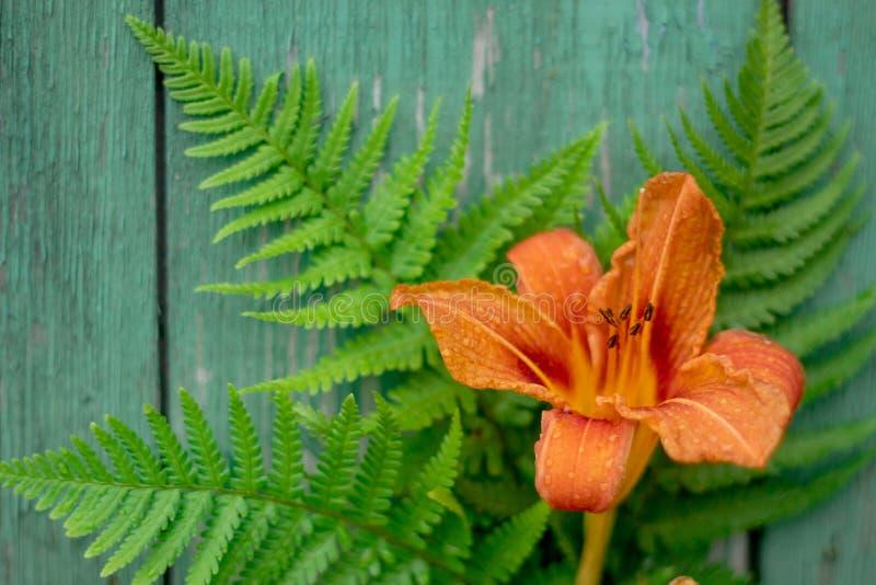 A flor alaranjada do hemerocallis e a samambaia verde saem vintage velho no fundo de madeira pintado foto de stock