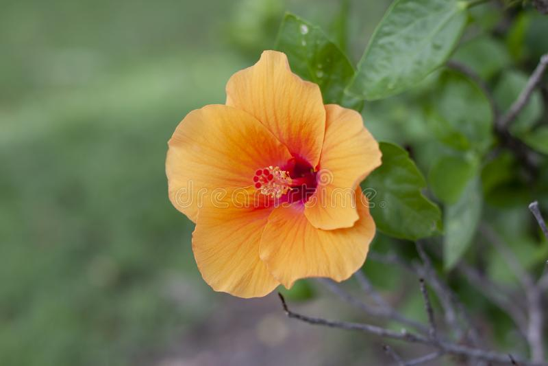 Flor alaranjada do hibiscus, rosa chinesa ou flor do chaba no fundo da natureza foto de stock