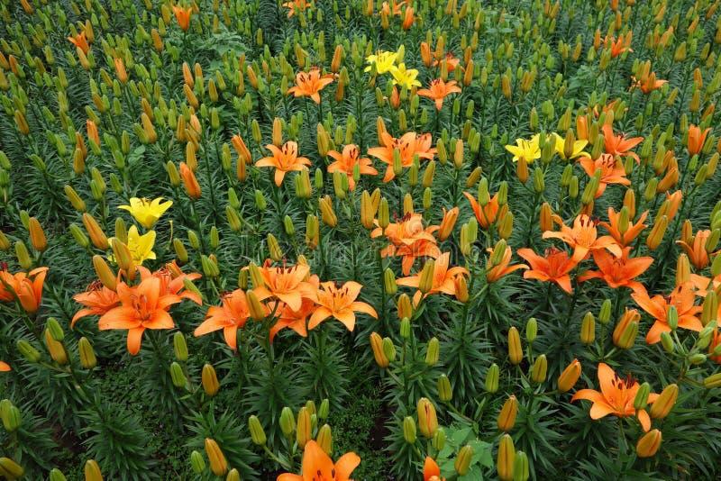 Flor alaranjada do lírio com botão fotos de stock royalty free