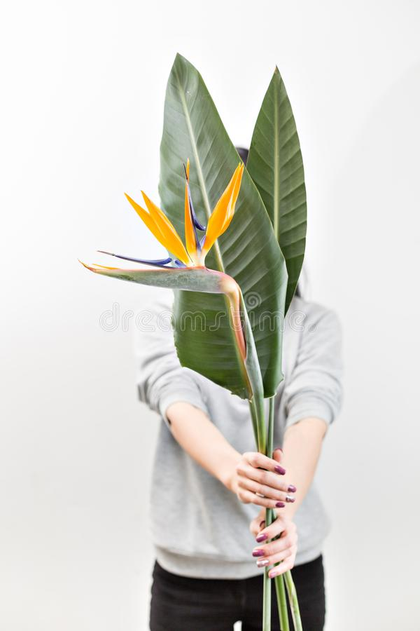 Flor alaranjada do Strelitzia Reginae - pássaro de paraíso, na mão da mulher Folhas tropicais do botão e do verde Foto horizontal fotografia de stock