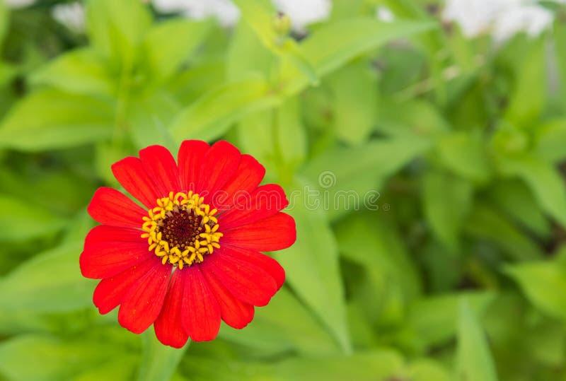 Flor alaranjada do zinnia fotografia de stock