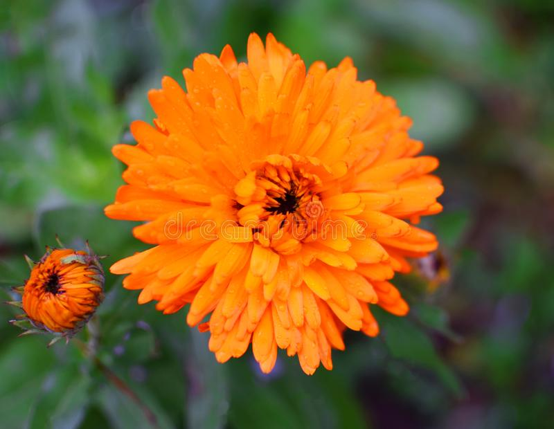 Flor alaranjada dos officinalis do Calendula fotografia de stock