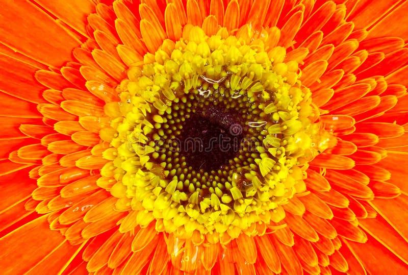 Flor alaranjada e amarela imagens de stock royalty free