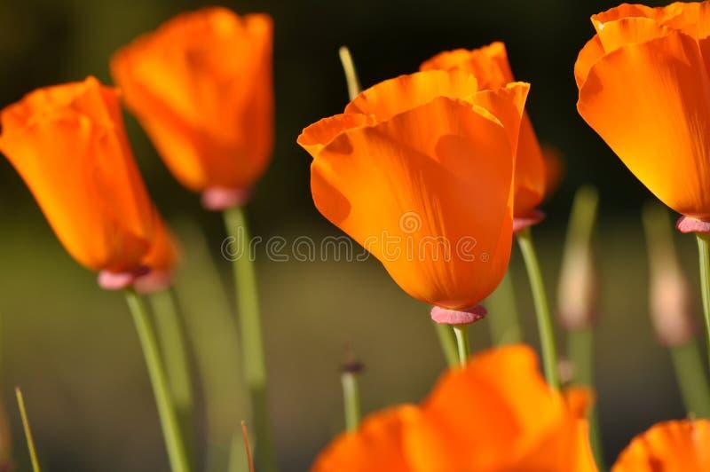 Flor alaranjada fechada da papoila do estado de Califórnia imagem de stock royalty free