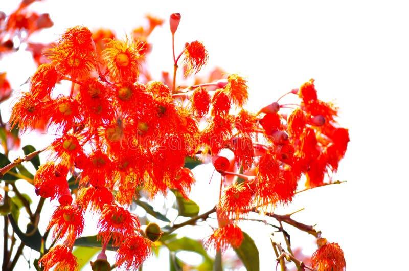 Flor alaranjada peludo bonita do ` do ficifolia de Corymbia do ` em uma estação de mola em um jardim botânico isolado no fundo br fotos de stock royalty free