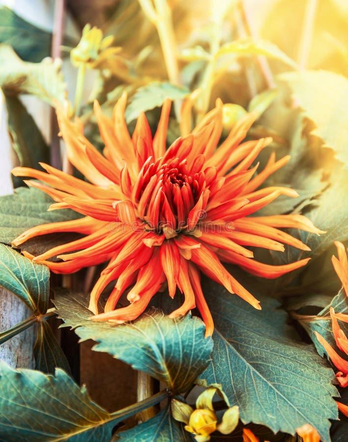 Flor alaranjada pontudo da dália na luz solar fotos de stock royalty free