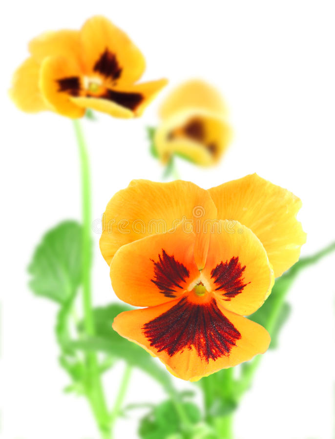 flor Alaranjado-violeta do amor perfeito foto de stock royalty free