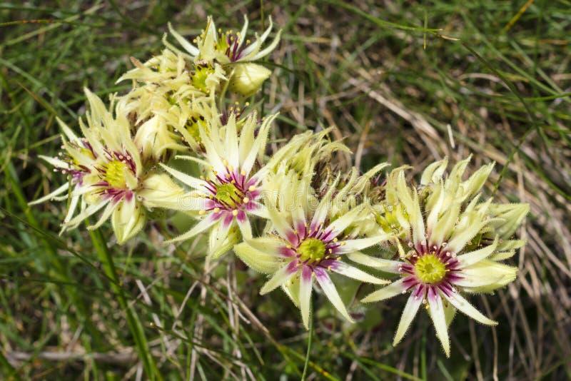 Flor alpina Sempervivum Wulfenii, el valle de Aosta imagenes de archivo